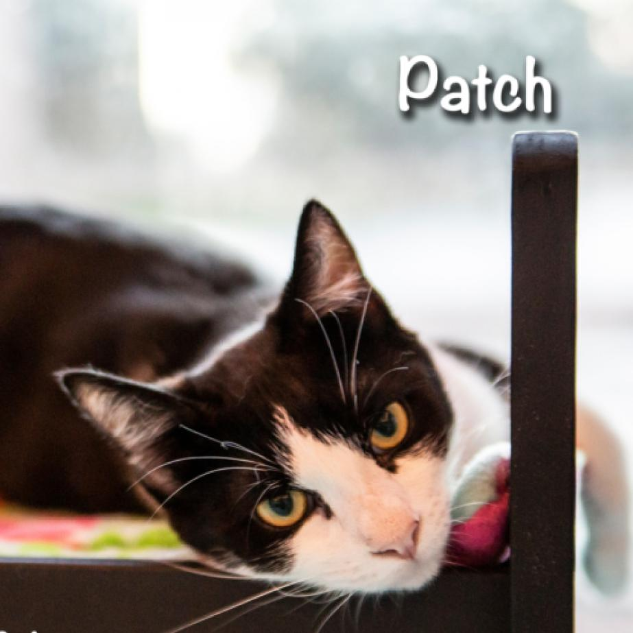 Patch: Male 13 Domestic Shorthair