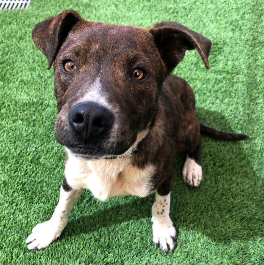 Dixson: Male 10 Boxer/Terrier, American Staffordshire
