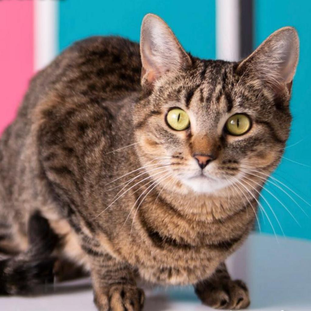 Johanna: Female 33 Domestic Shorthair