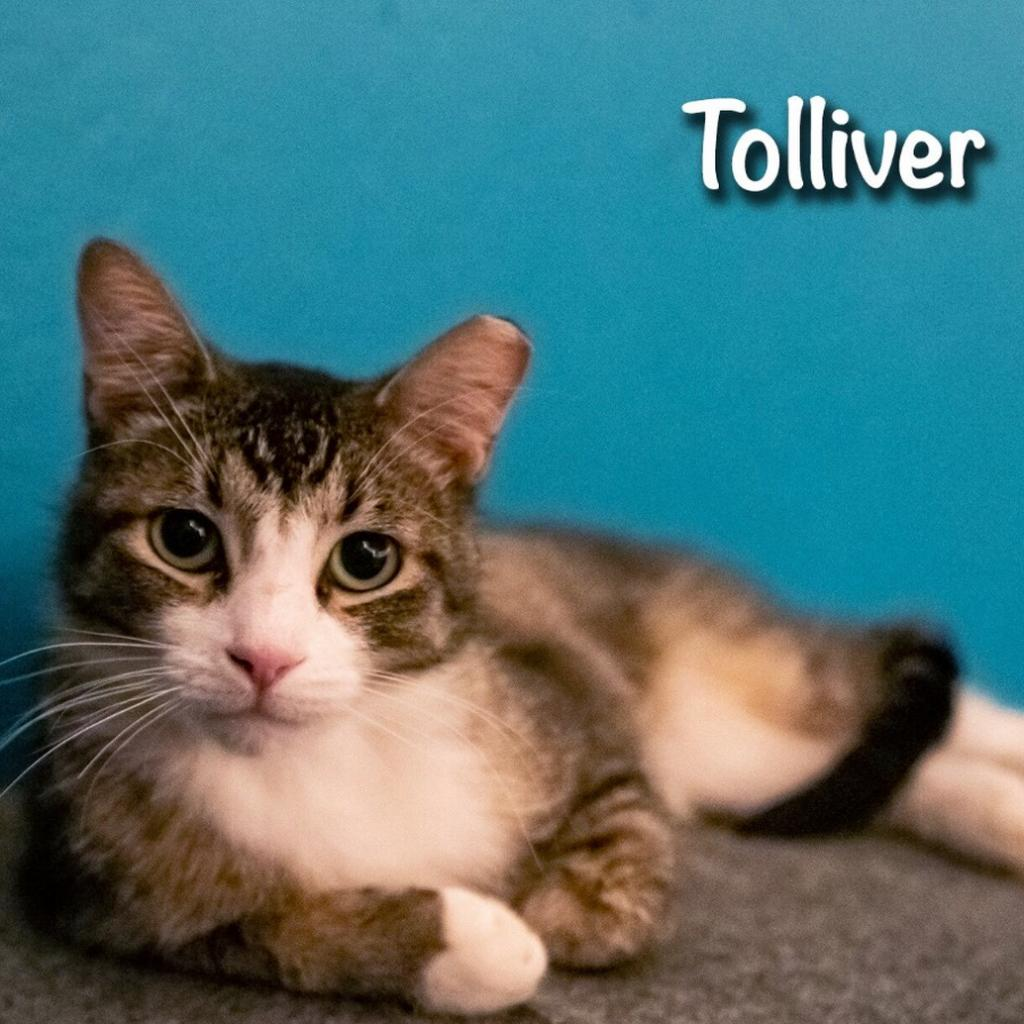 Tolliver: Male 16 Domestic Shorthair
