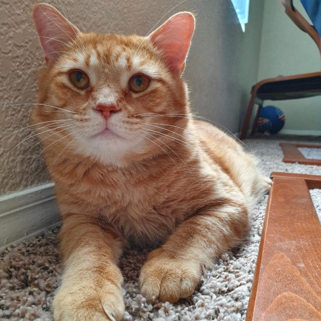 McGregor: Male 56 Domestic Shorthair