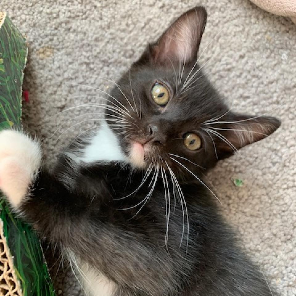 Leroy: Male 3 Domestic Shorthair