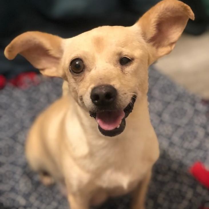 Shortcake: Female 43 Terrier, Parson Jack Russell/Chihuahua