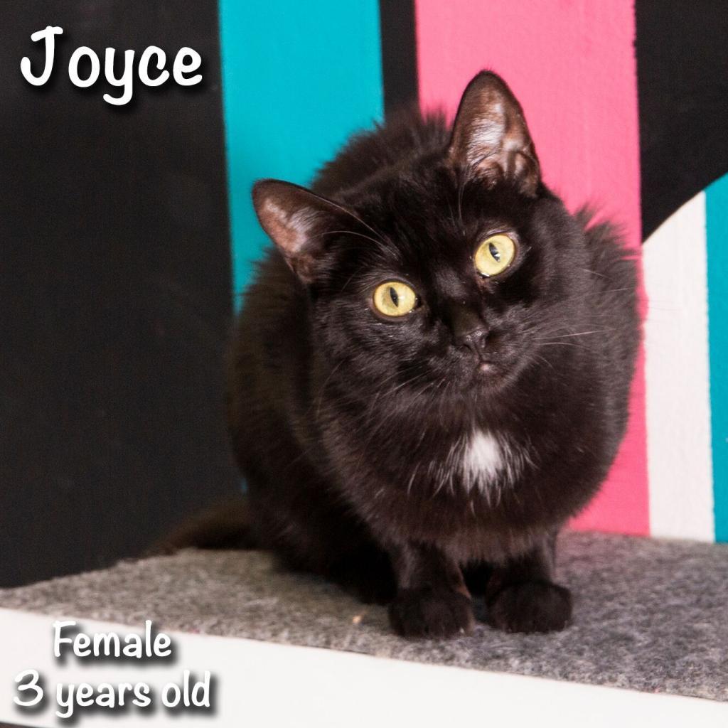 Joyce: Female 39 American Shorthair