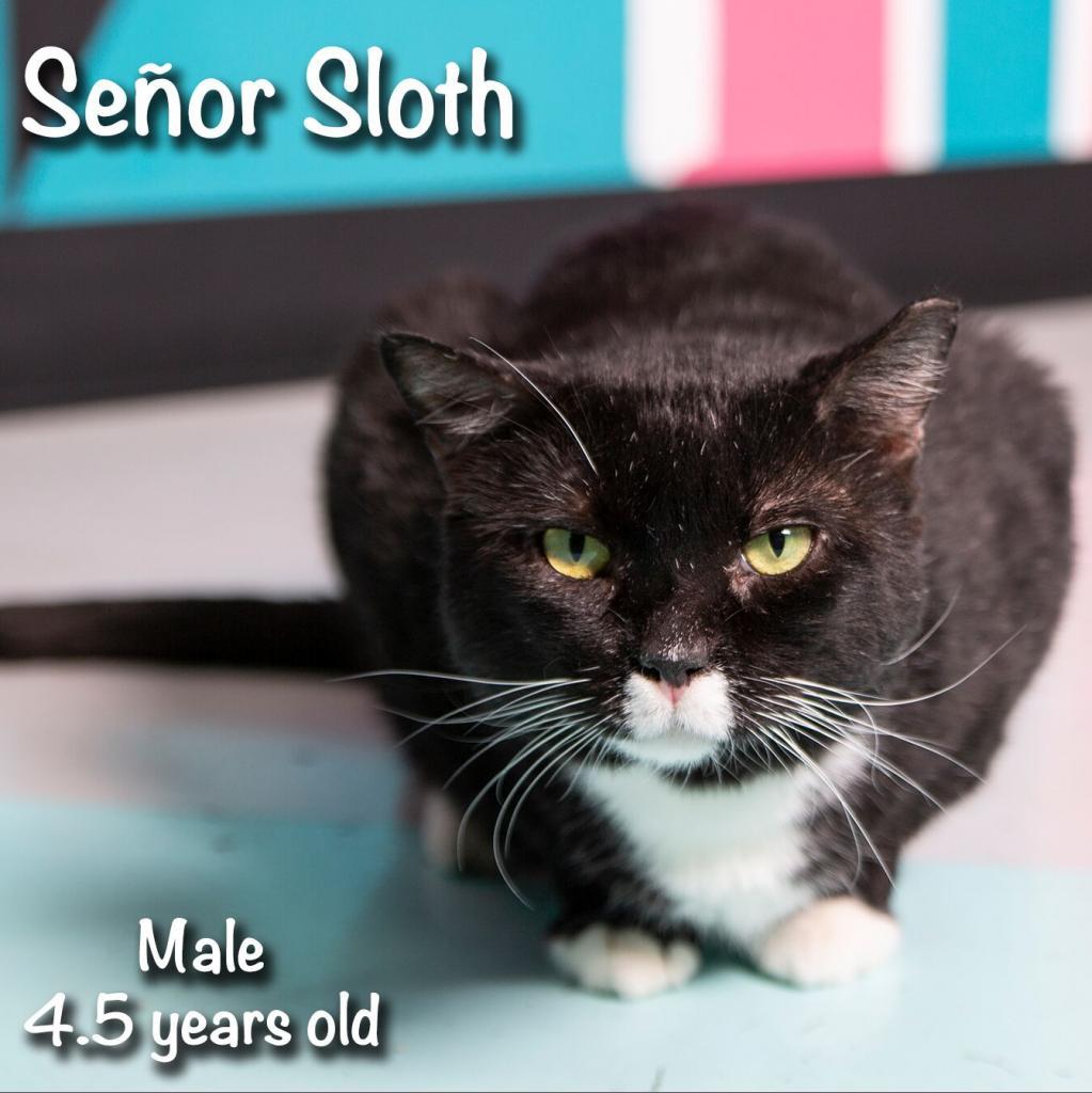 Senor Sloth: Male 54 American Shorthair
