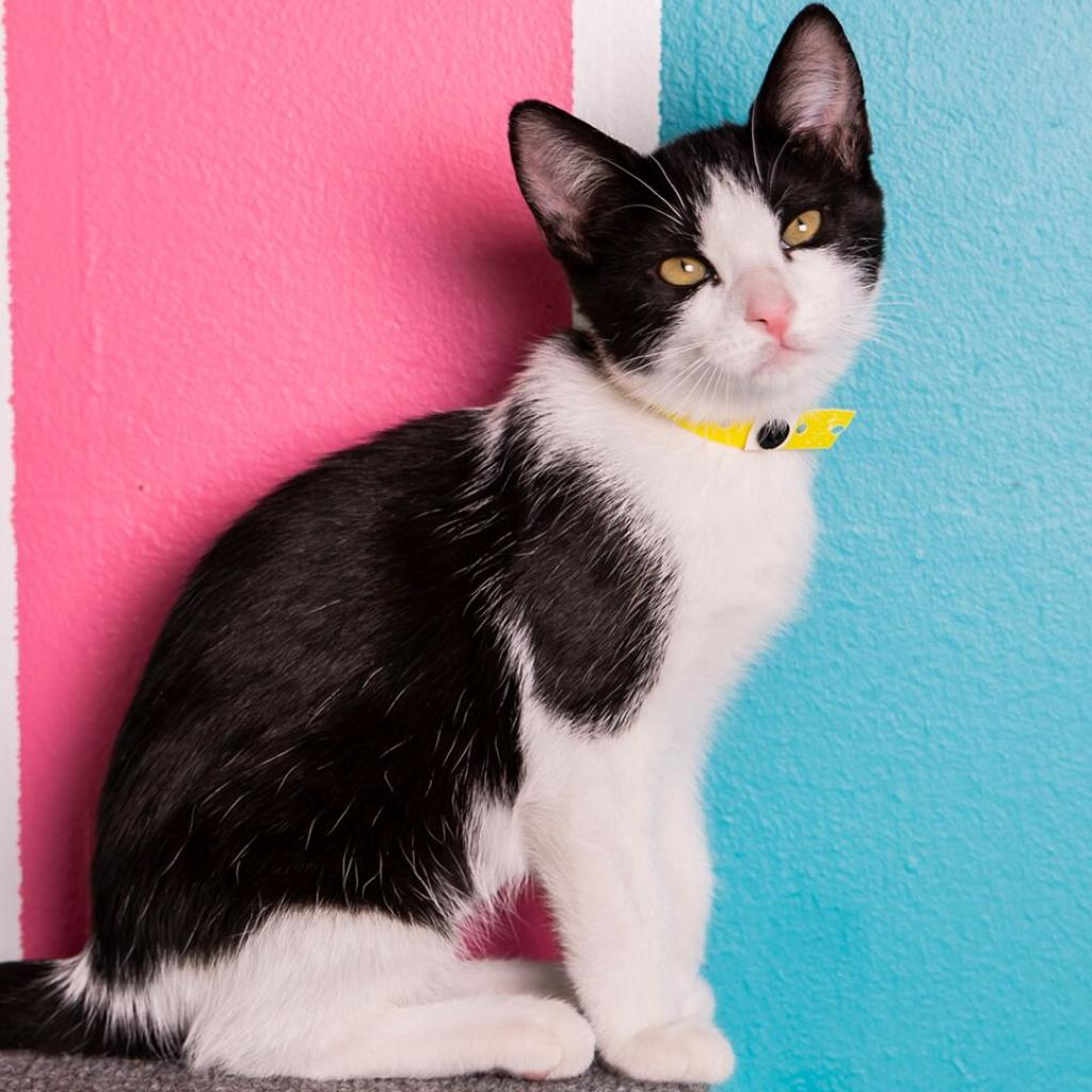 Naomi: Female 7 Domestic Shorthair