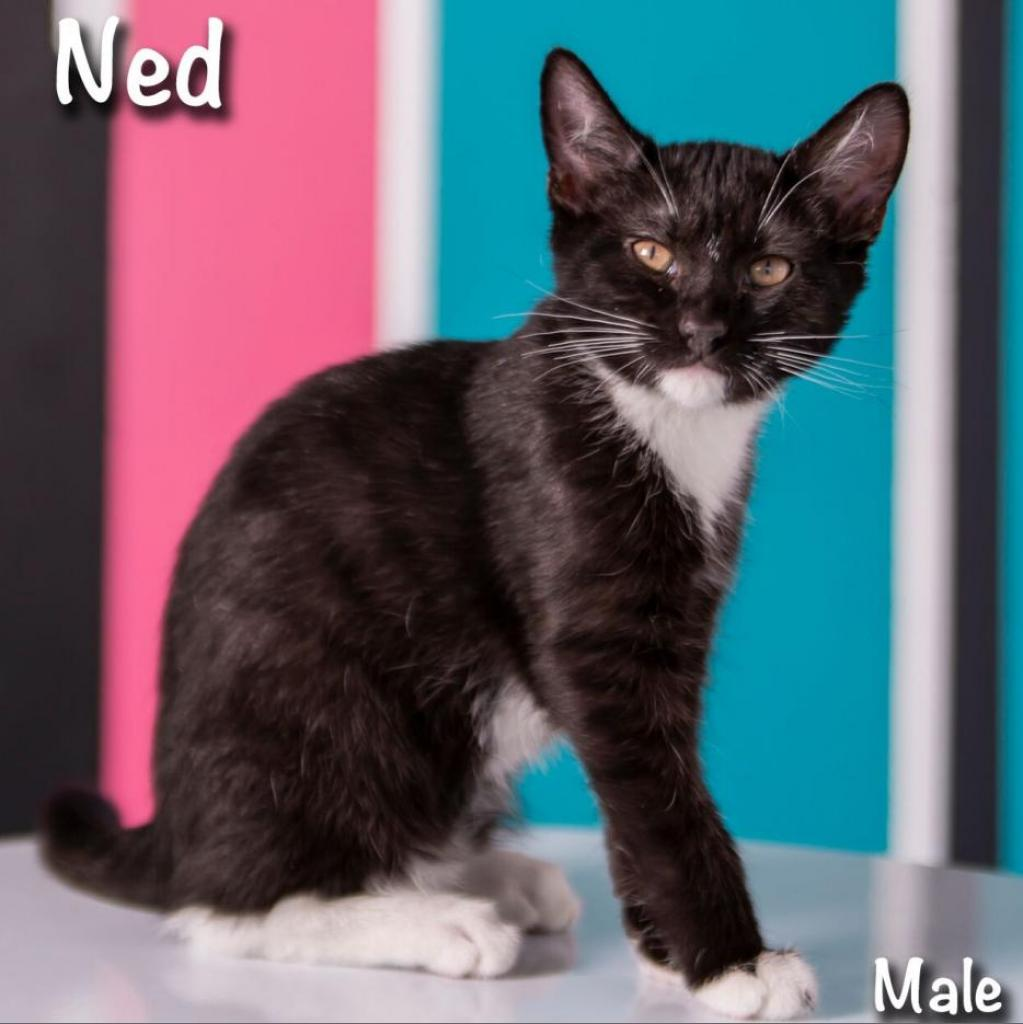Ned: Male 5 Domestic Shorthair