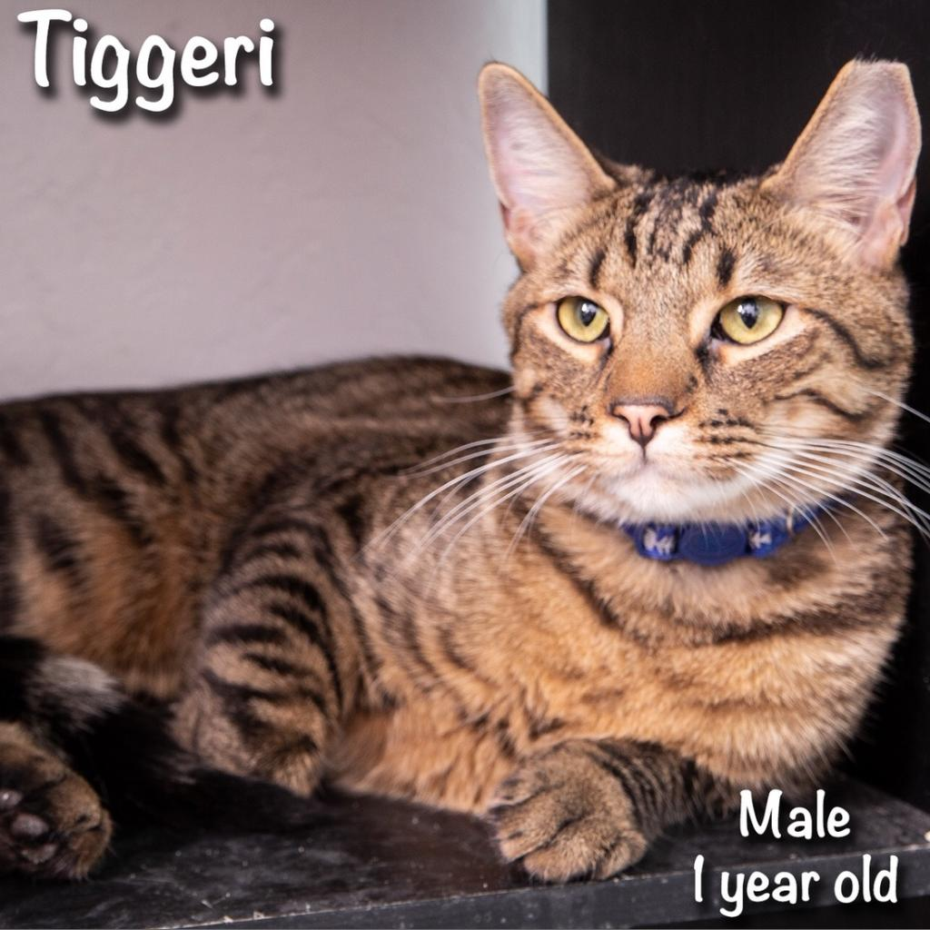 Tiggeri: Male 18 Domestic Shorthair/Bengal