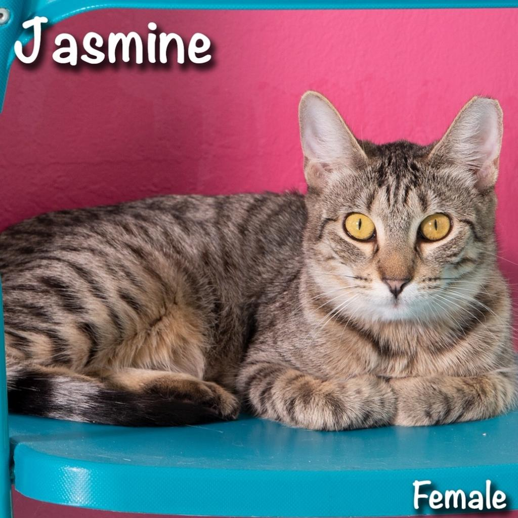 Jasmine: Female 18 Domestic Shorthair