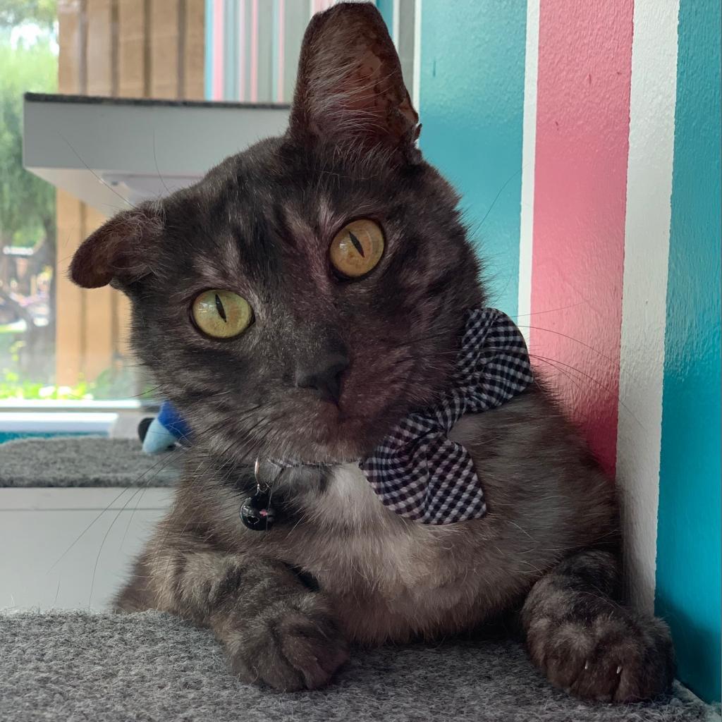 Alexei: Male 40 Domestic Shorthair