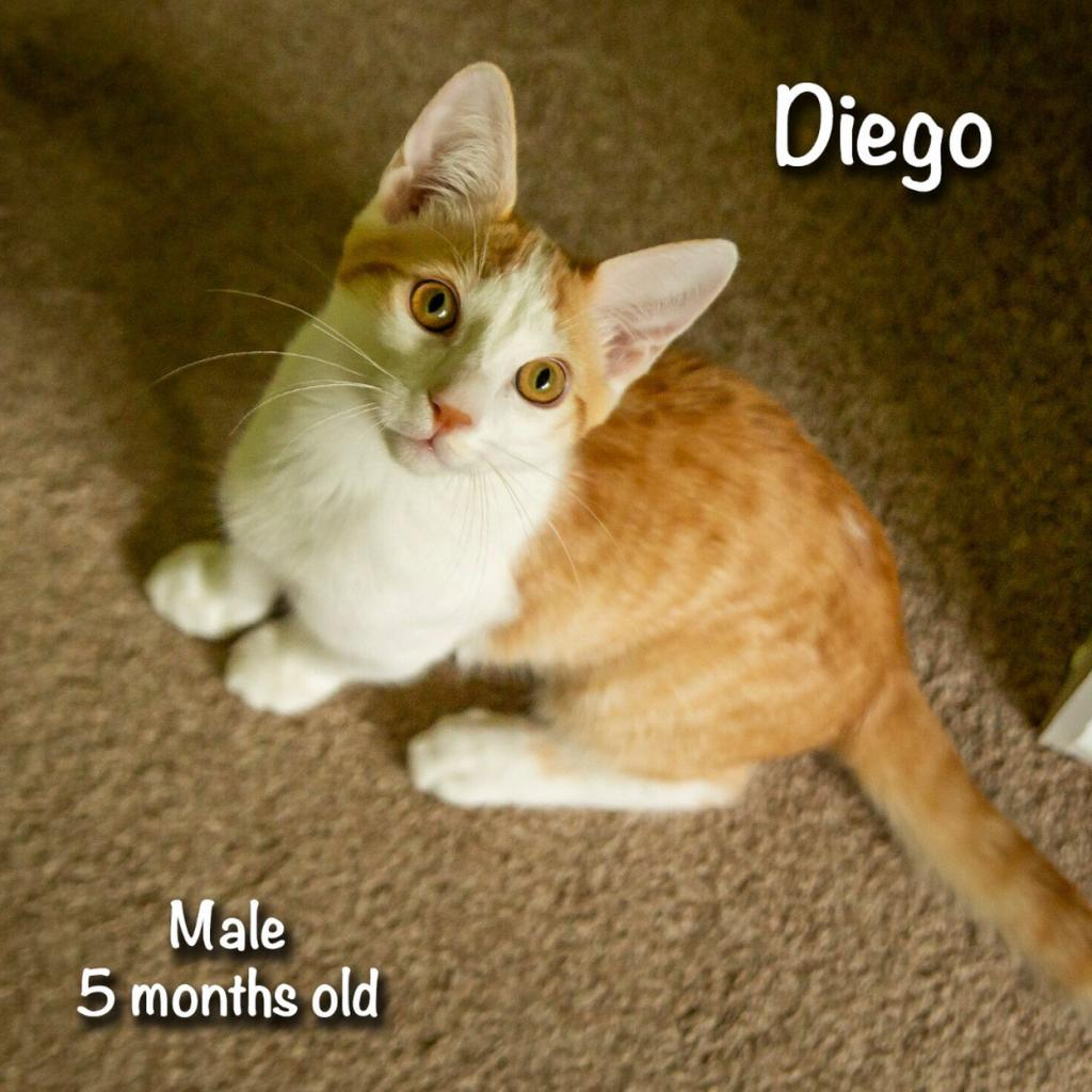 Diego: Male 5 Domestic Shorthair