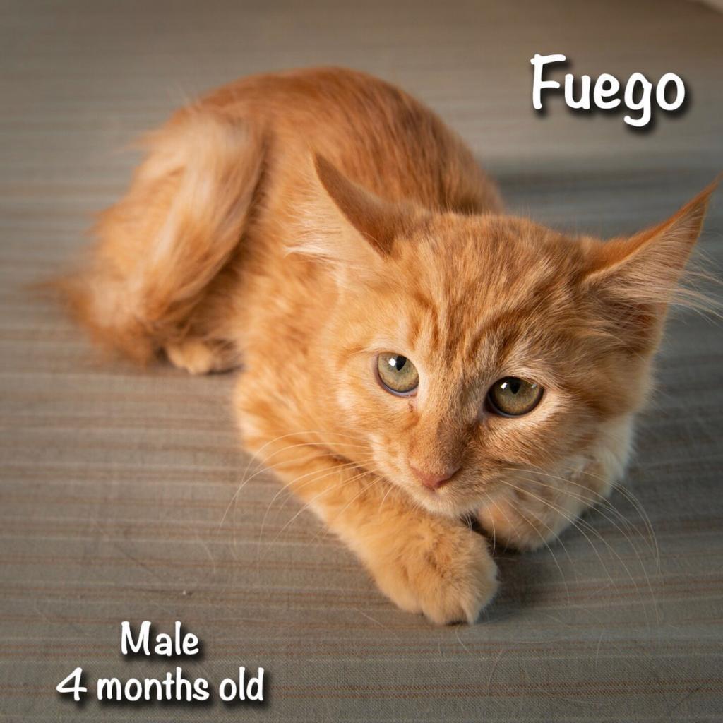 Fuego: Male 2 Domestic Medium Hair