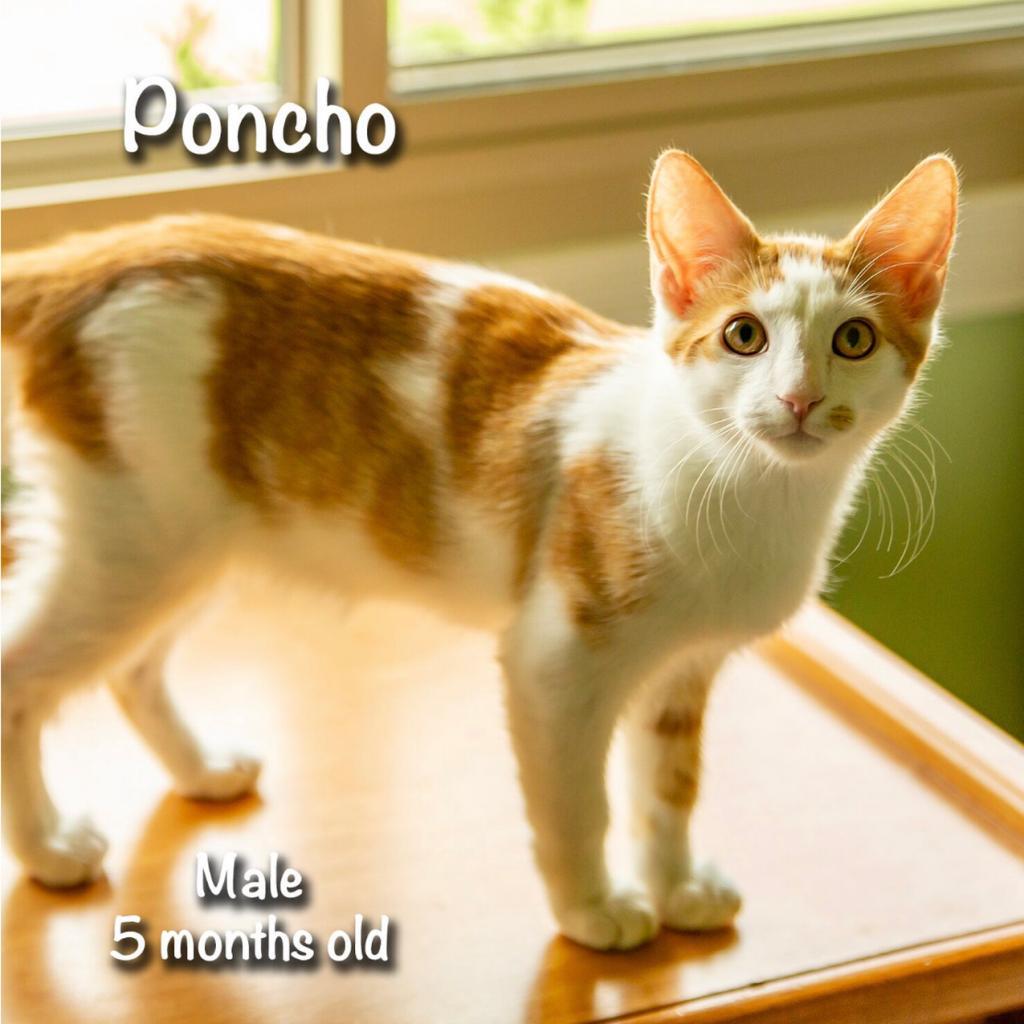 Poncho: Male 5 Domestic Shorthair