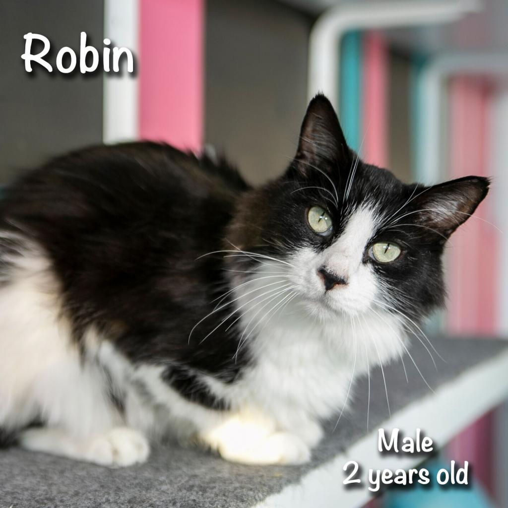 Robin: Male 25 Domestic Longhair