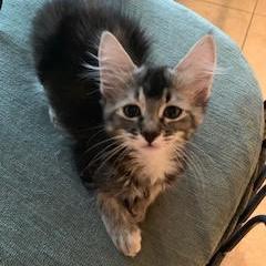 Alice: Female 3 Domestic Longhair