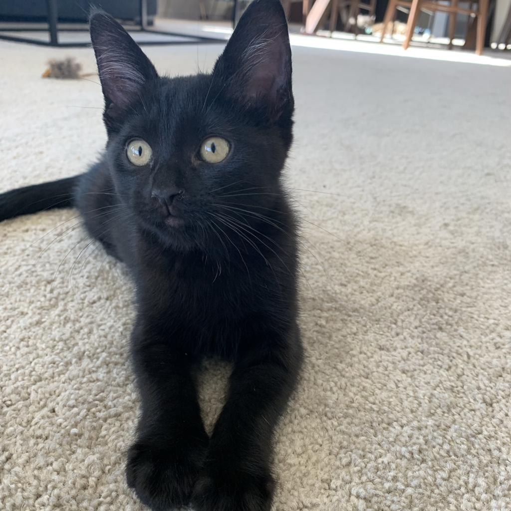 Juniper: Female 3 Domestic Shorthair