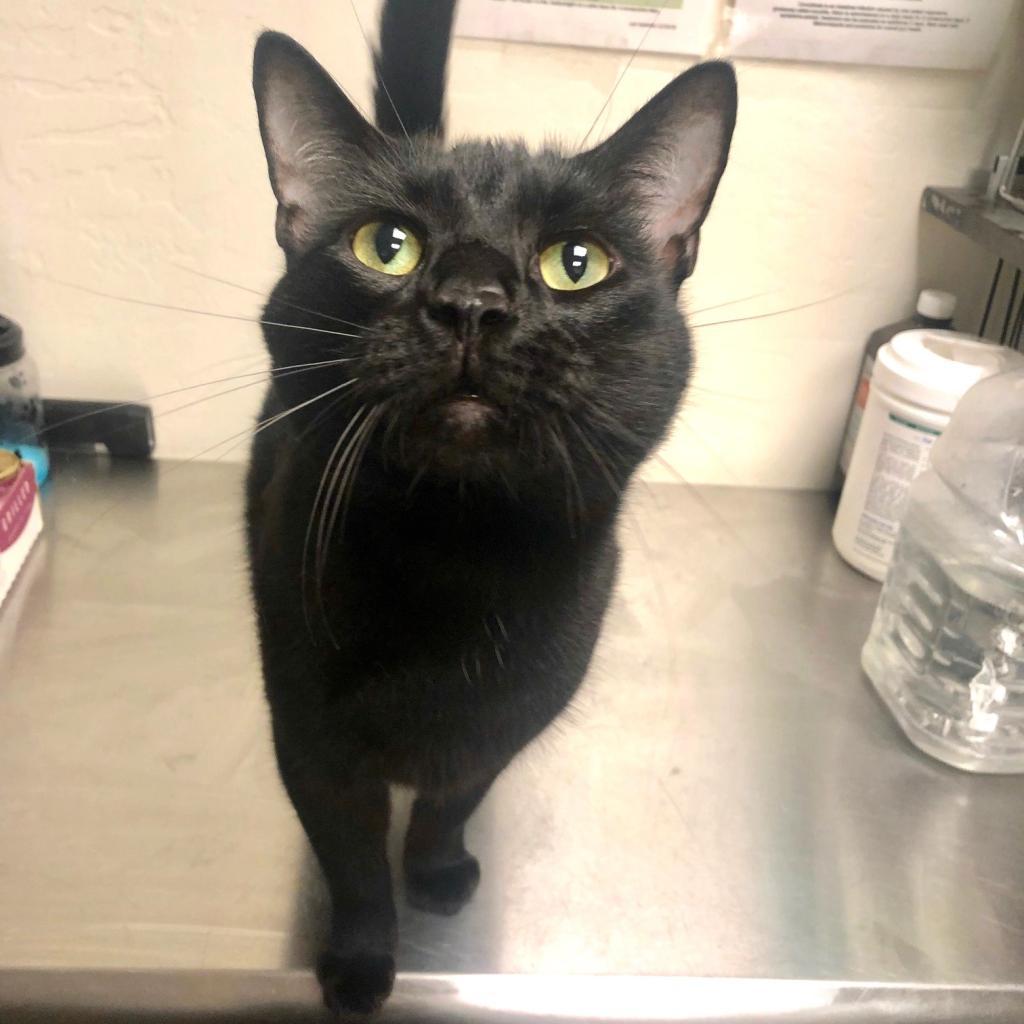 Katze: Male 42 Domestic Shorthair