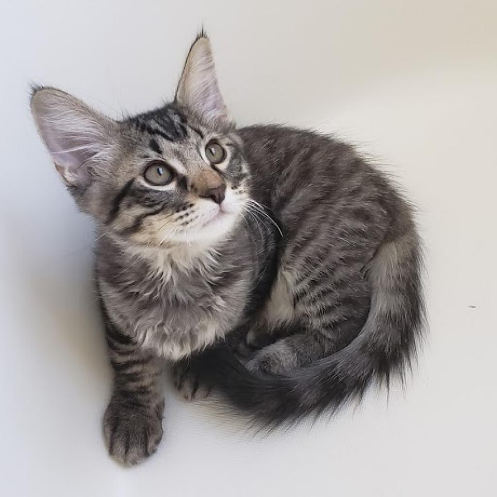 Moonlight Knight: Male 8 Domestic Medium Hair
