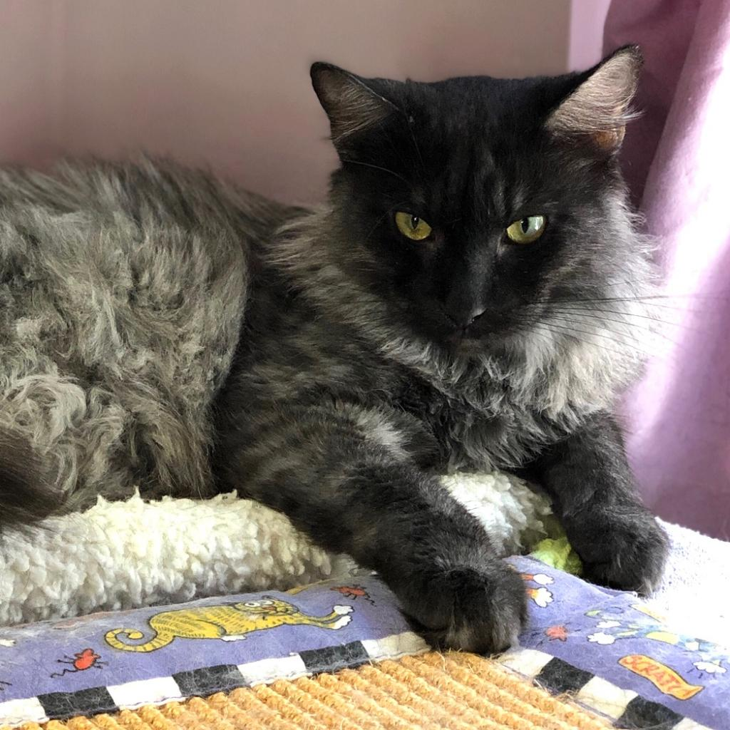 Smokey Joe: Male 38 Maine Coon