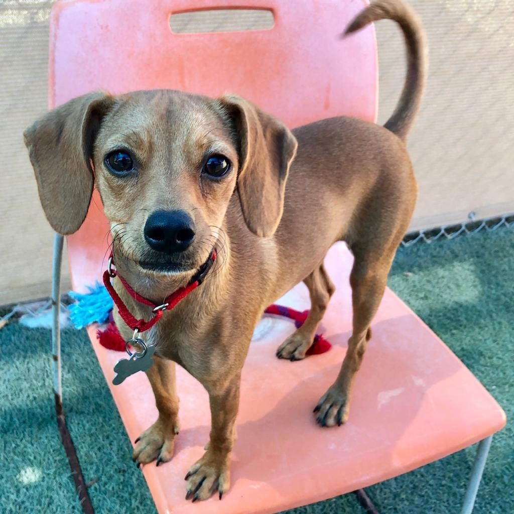 May: Female 11 Beagle/Pinscher, Miniature