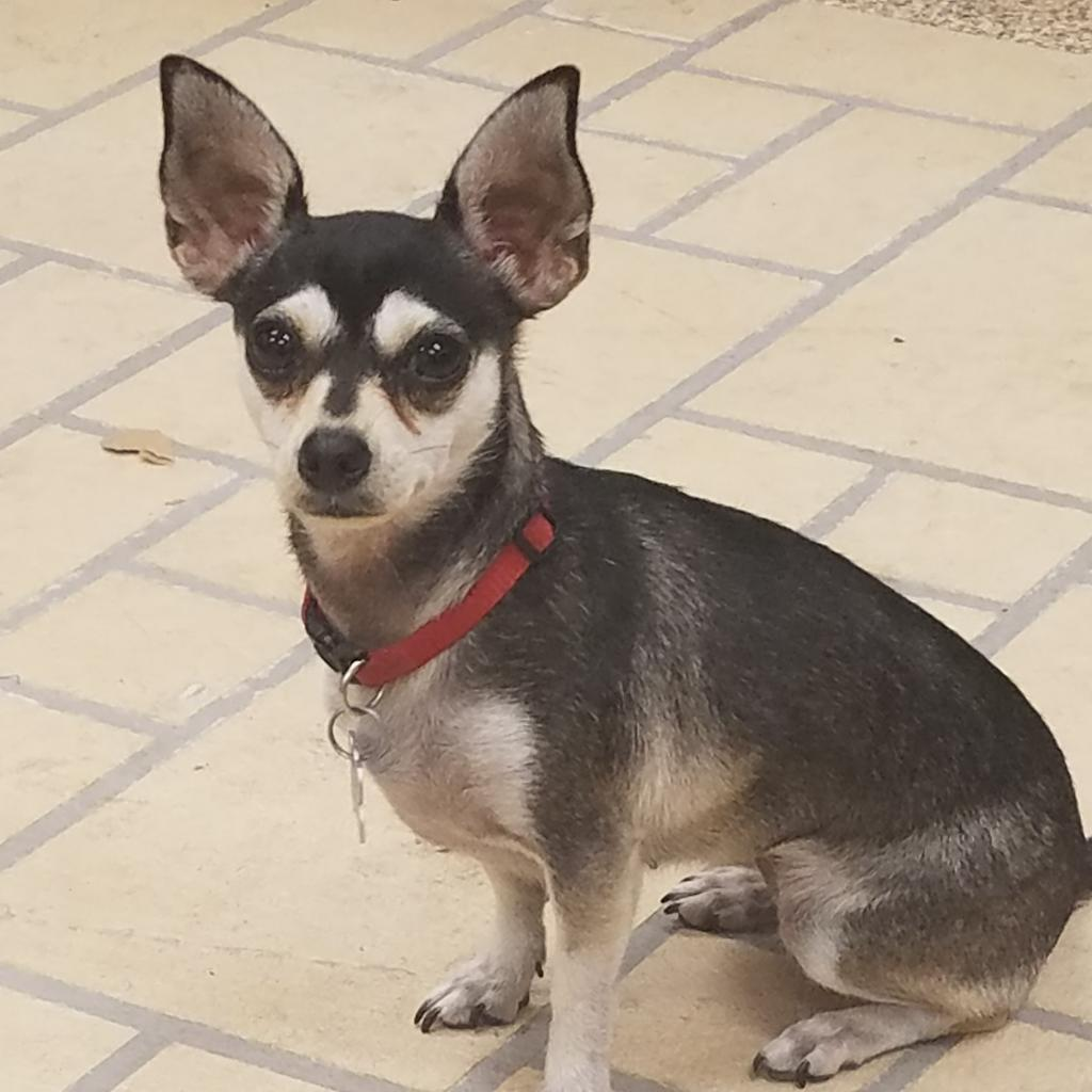 Buttons: Female 29 Chihuahua