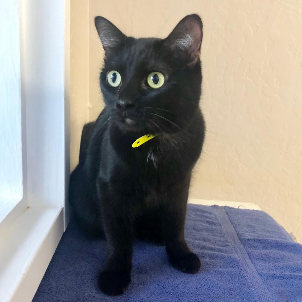 Camille: Female 50 Domestic Shorthair