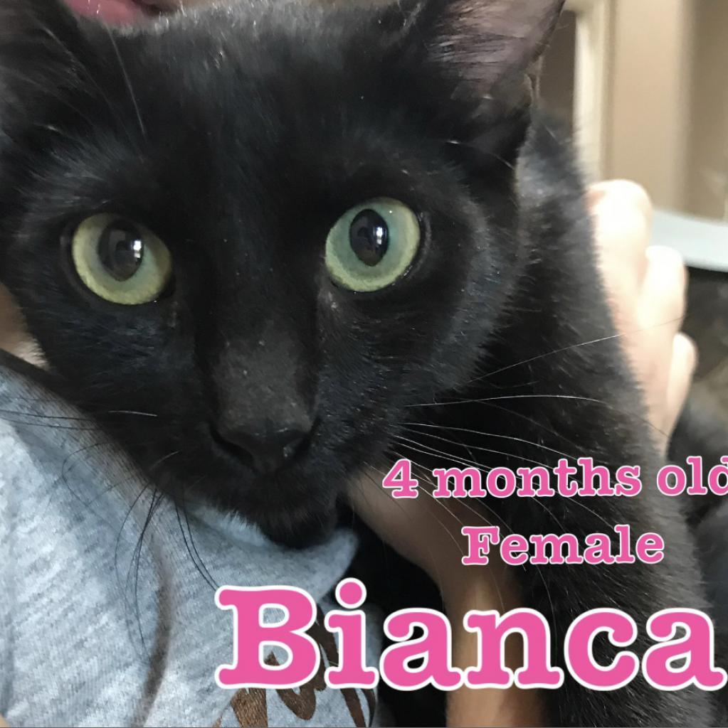 Bianca: Female 11 Domestic Shorthair