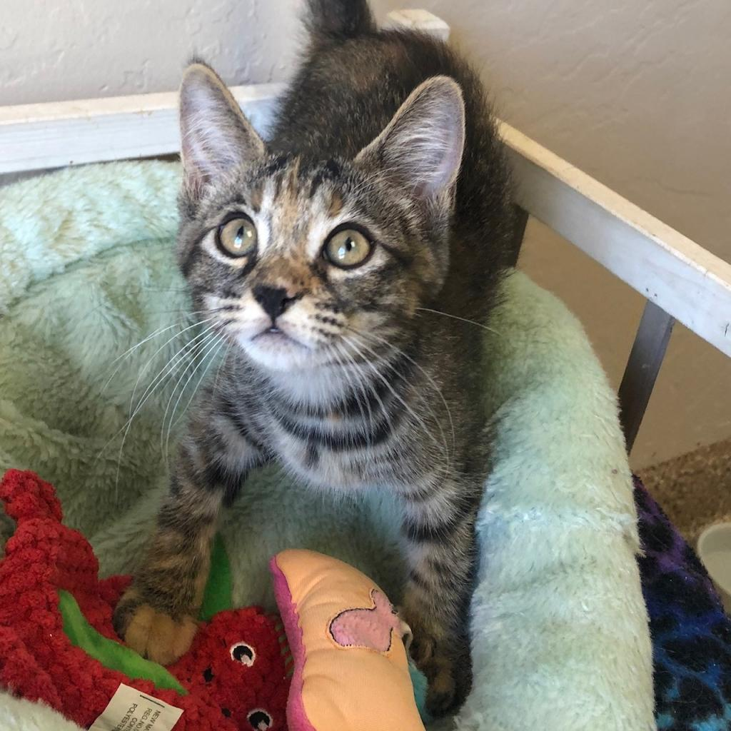 Rose: Female 10 Domestic Shorthair