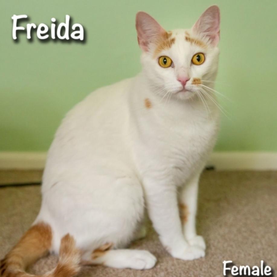 Freida: Female 40 Domestic Shorthair