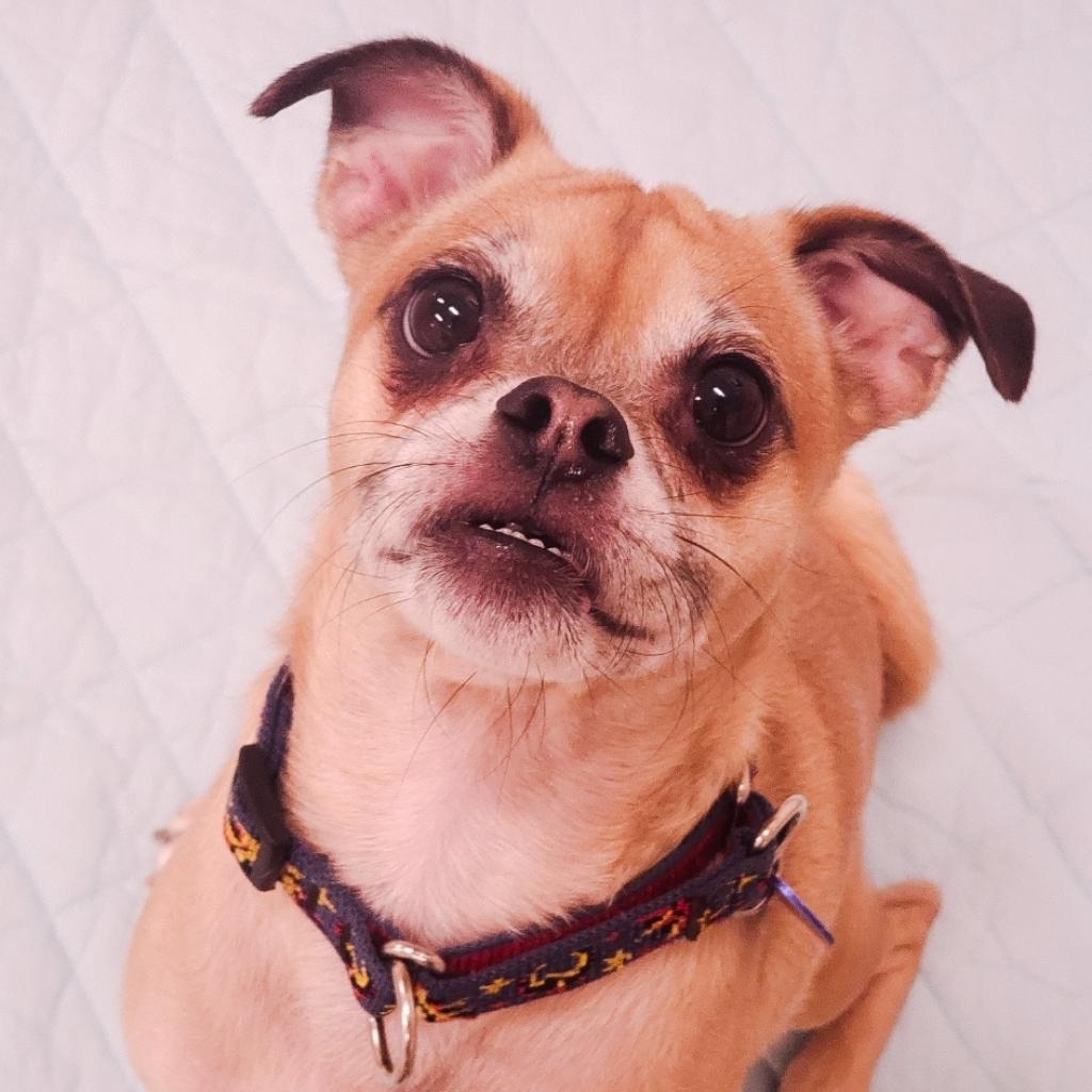 Frank Sinatra: Male 44 Pug/Beagle