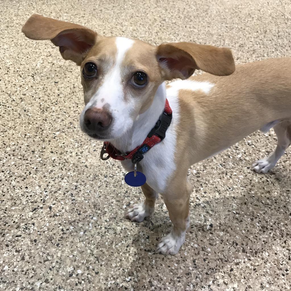 Dobby: Male 73 Chihuahua, Short Coat/Dachshund