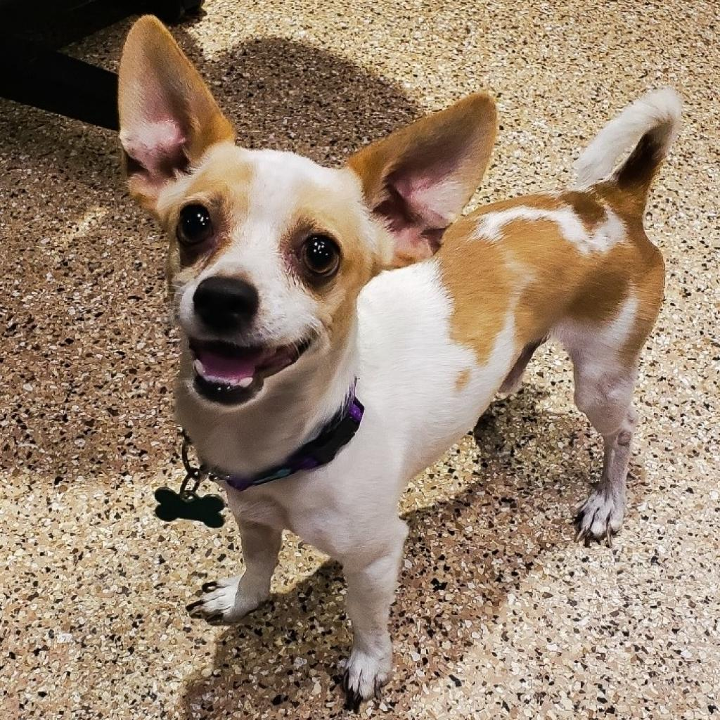 Zig Zag: Male 19 Chihuahua