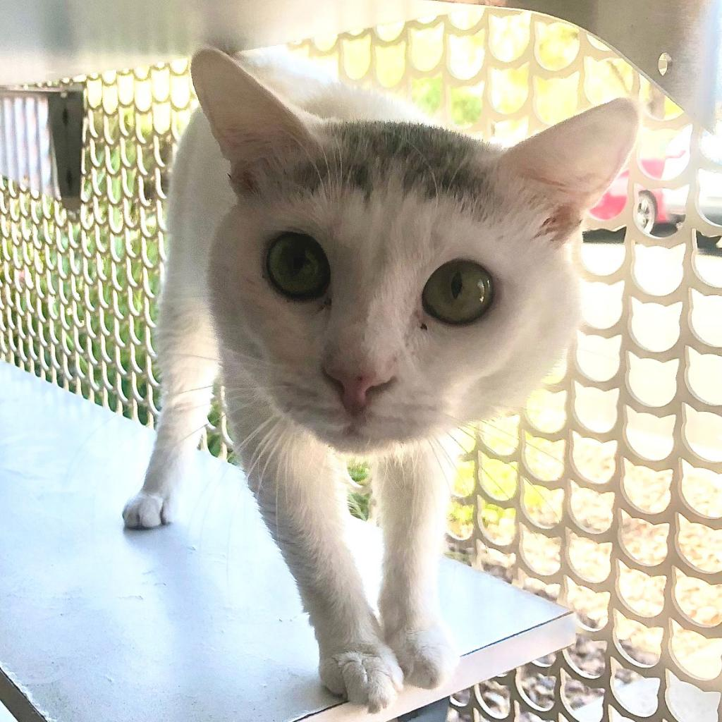 Willoughby: Male 10 Domestic Shorthair
