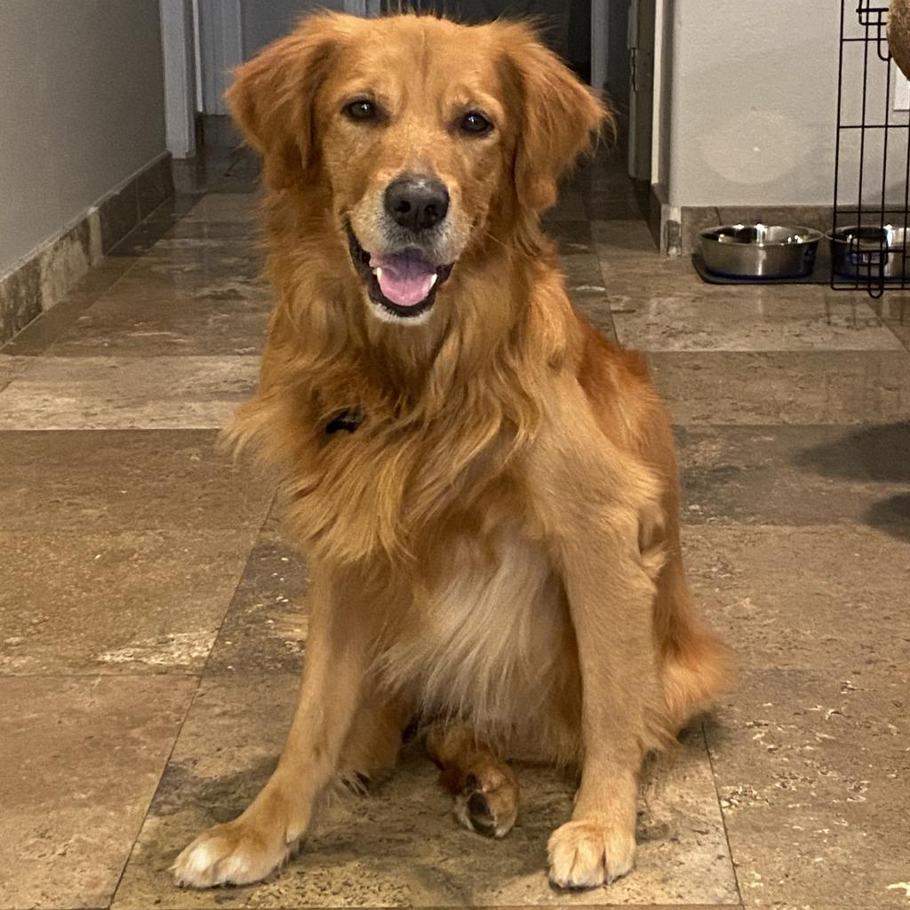 Charlee: Male 93 Retriever, Golden