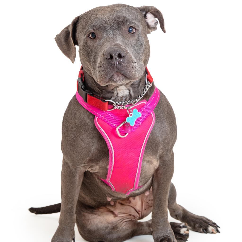 Greta: Female 34 Terrier, American Pit Bull