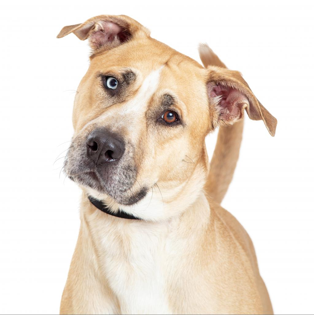 Churchill: Male 57 Terrier, Pit Bull/Husky