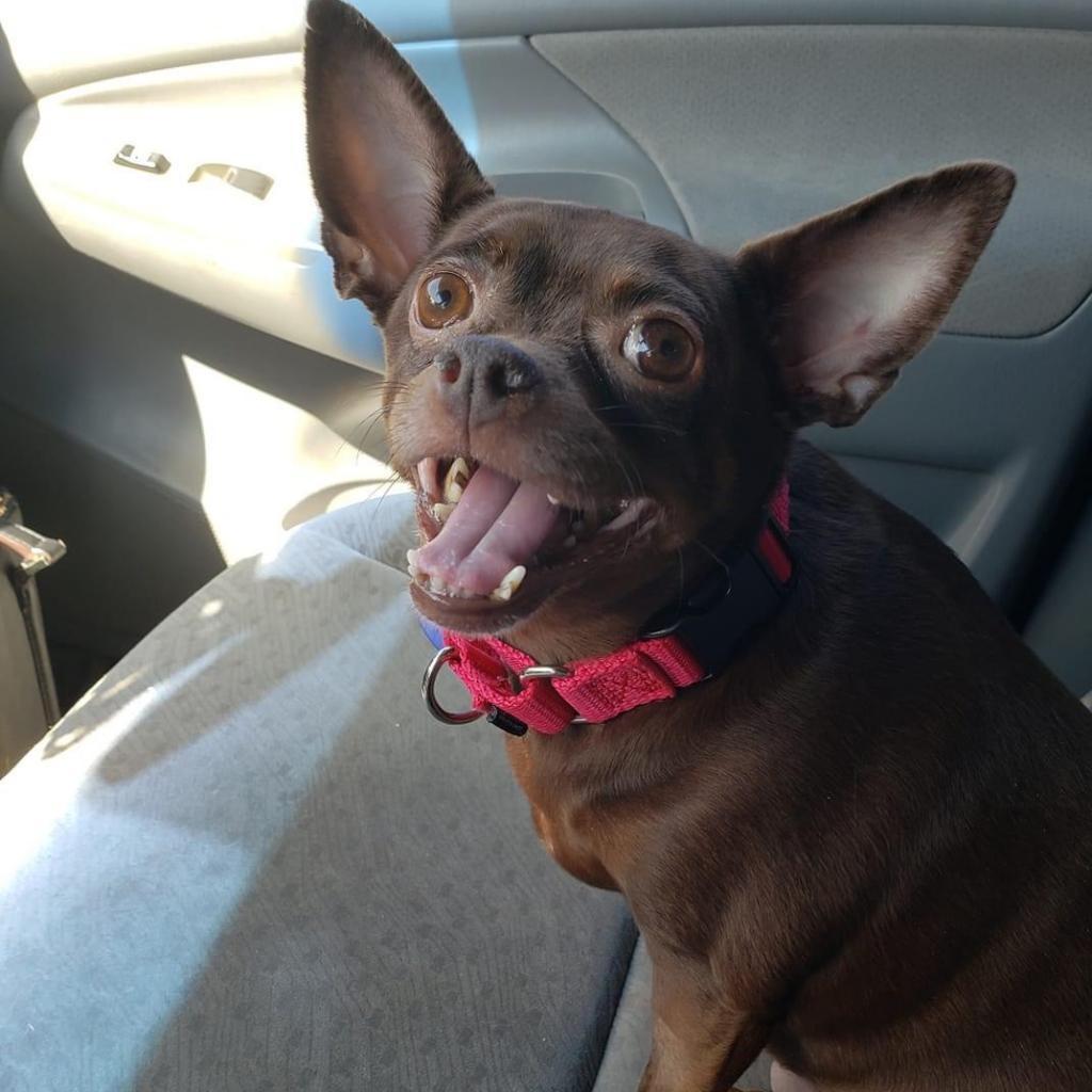 Cocoa Puff: Female 79 Chihuahua, Short Coat