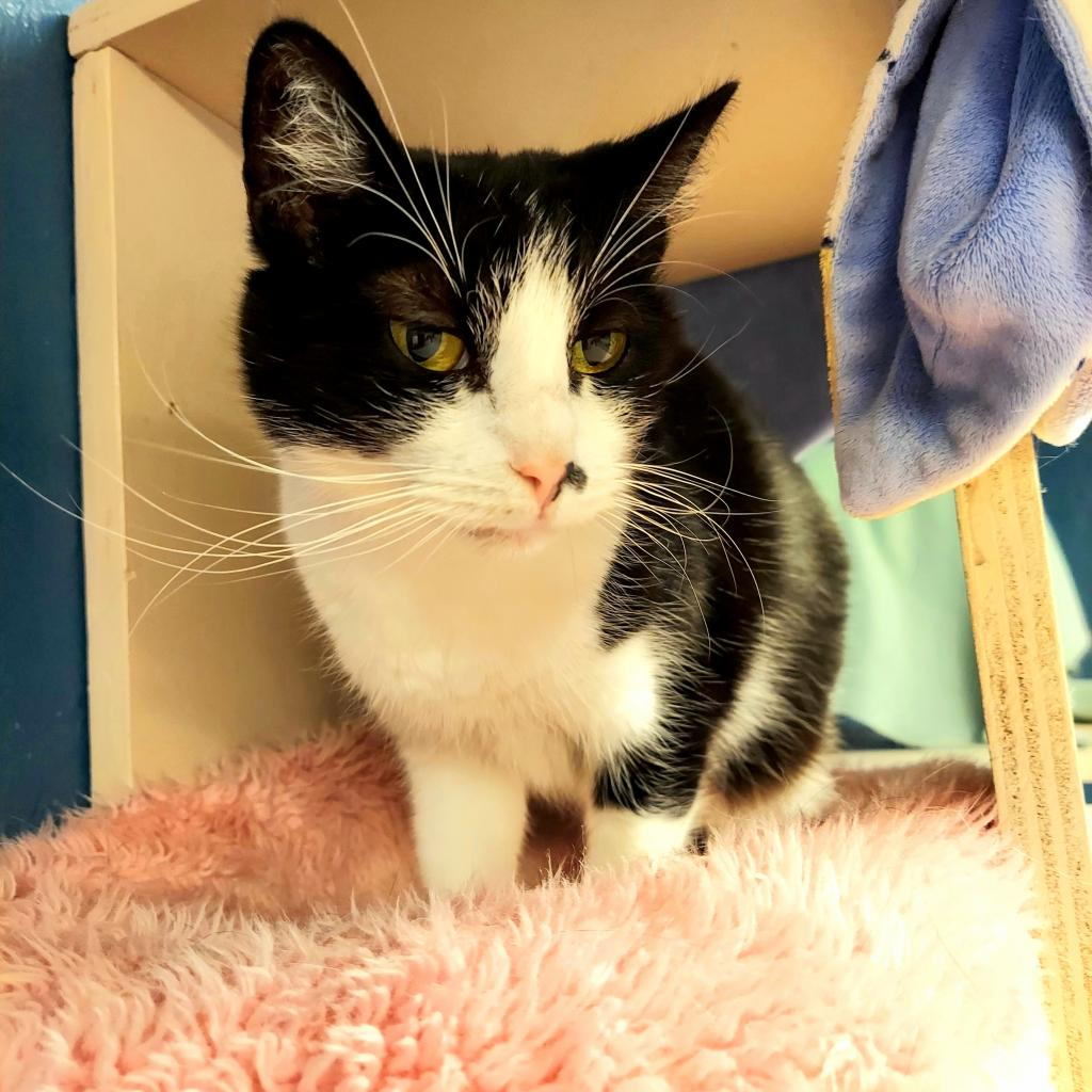Katrina: Female 100 Domestic Shorthair