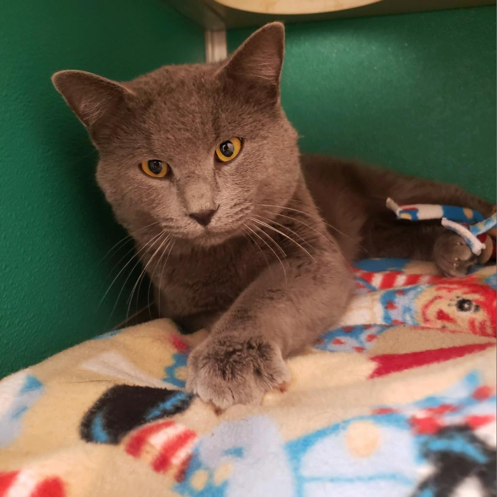 Roger: Male 21 Domestic Shorthair/Russian Blue