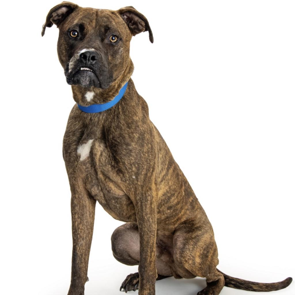 Haze: Male 49 Boxer/Terrier, American Pit Bull