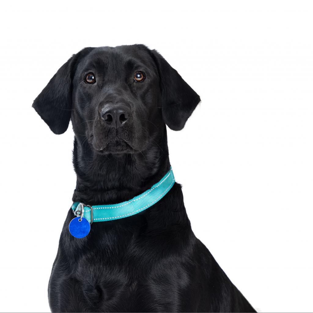 Nimitz: Female 15 Retriever, Black Labrador