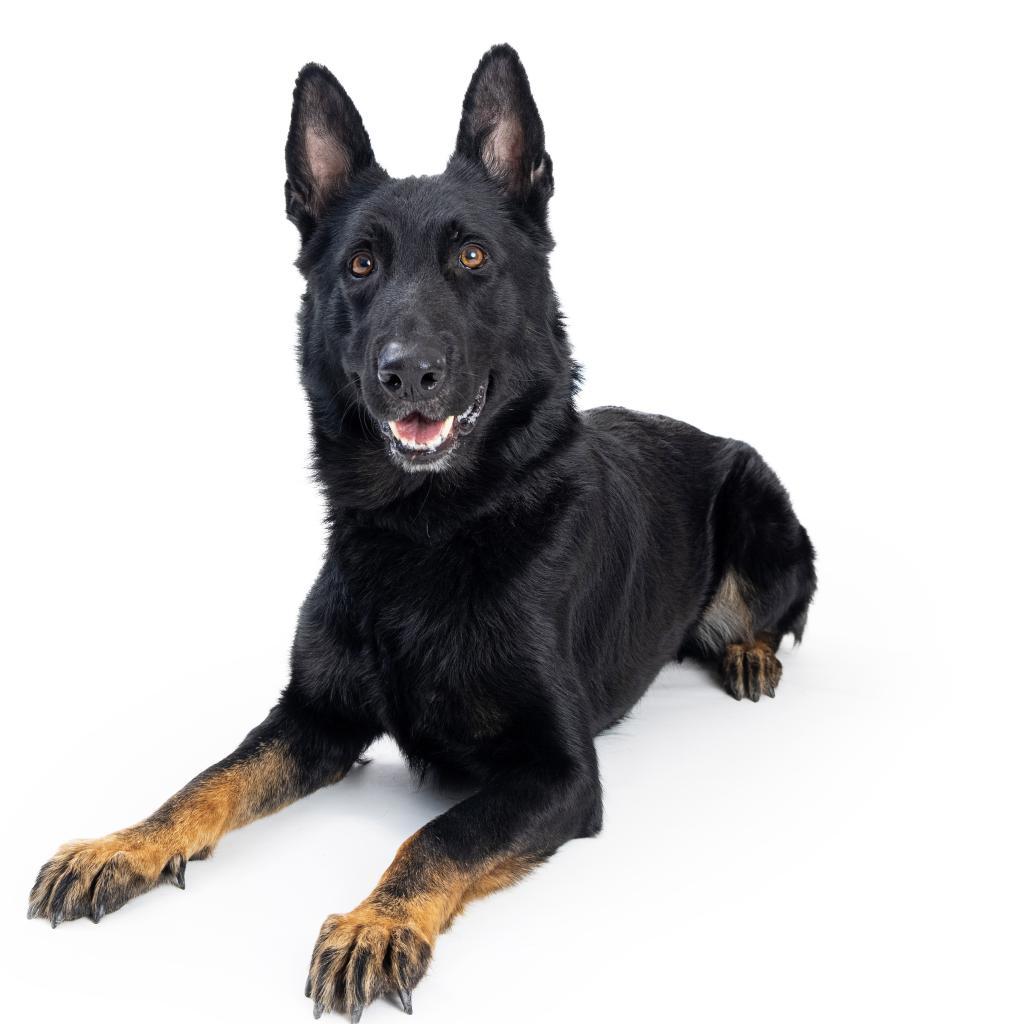Aries: Male 22 Shepherd, German/Malinois, Belgian