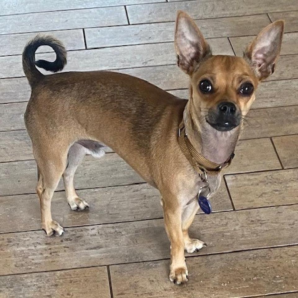 George: Male 24 Chihuahua, Short Coat