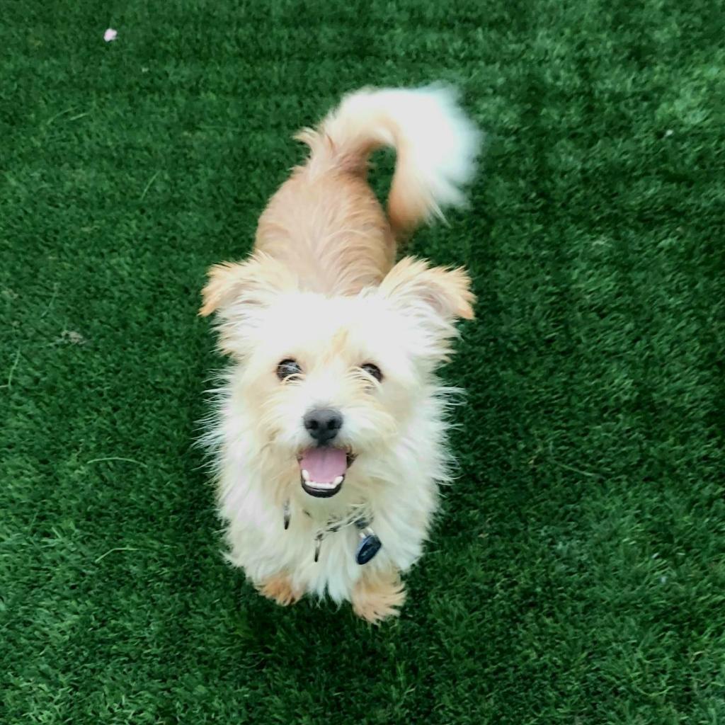 Mr. Miyagi: Male 44 Terrier, Norfolk/Terrier, Dandi Dinmont