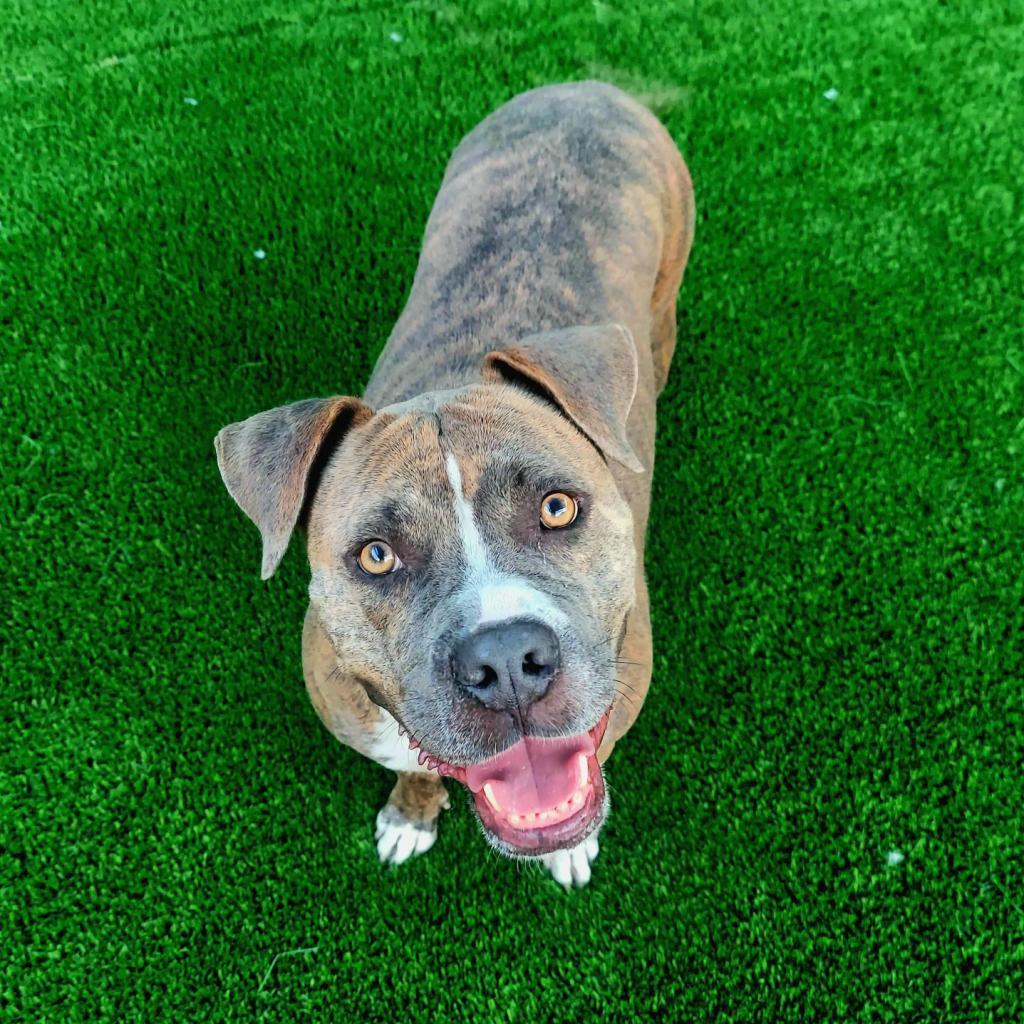 Roxie: Female 44 Boxer/Terrier, Pit Bull