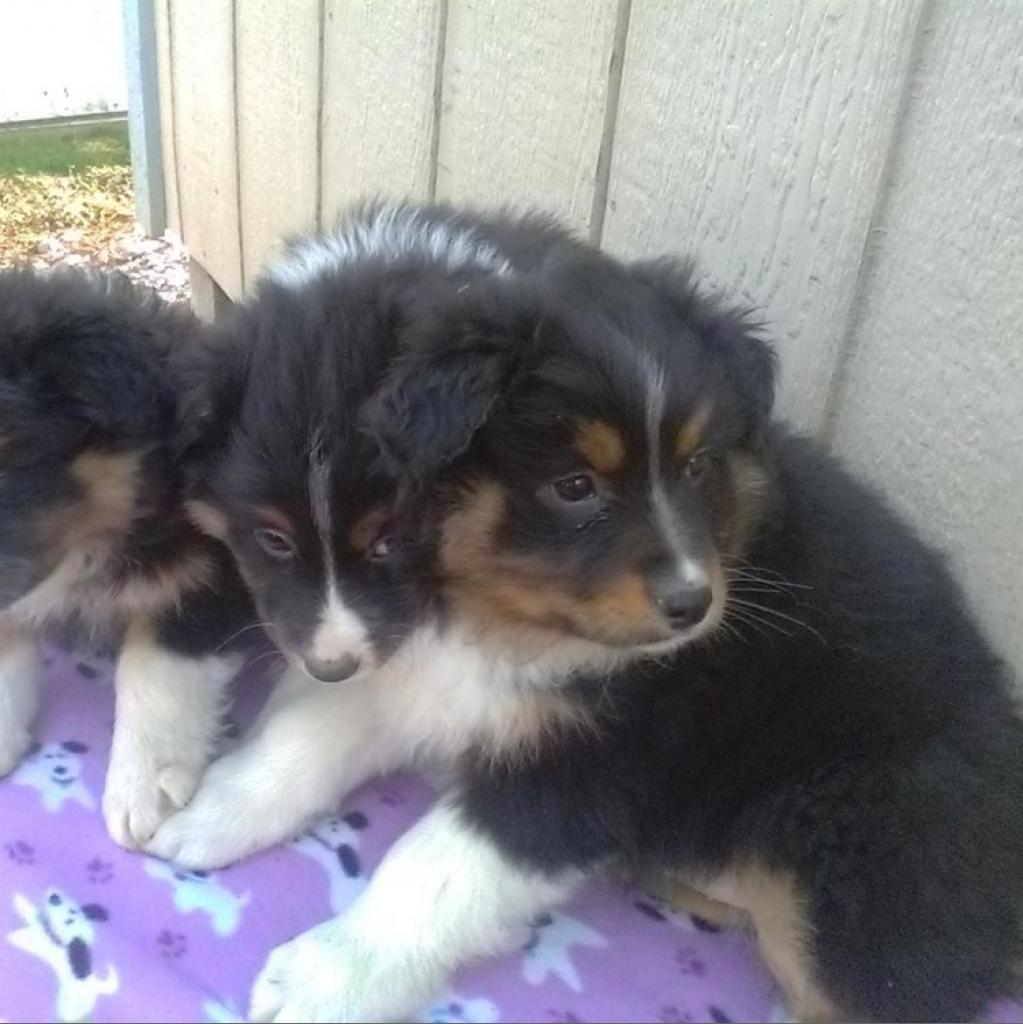 10-week old Australian Shepherd Pups (5 total!)
