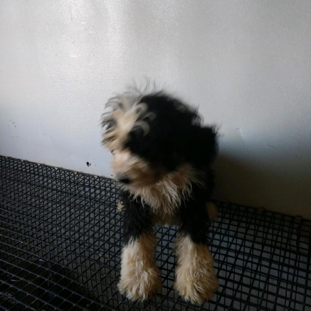 12-week old Bernedoodle puppies!