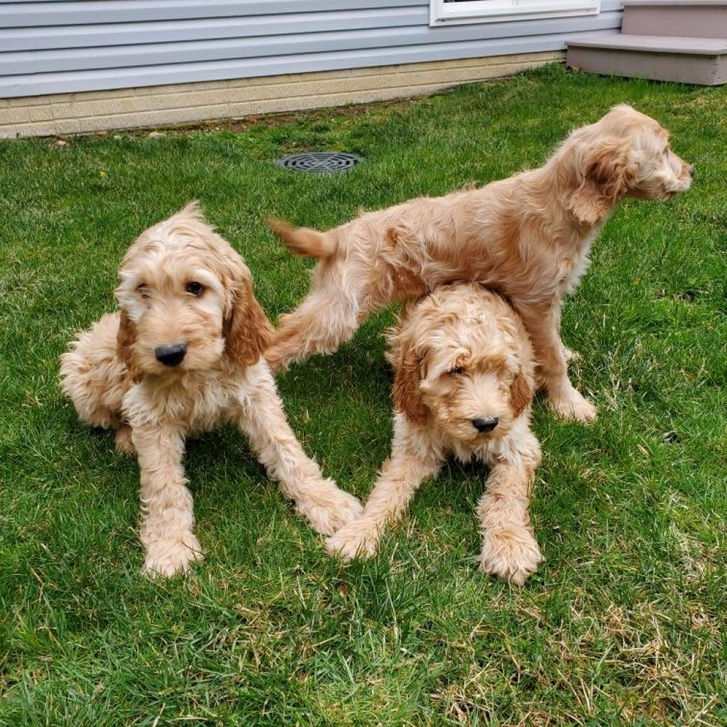 12-14 week old Irish Doodles (3 total!)